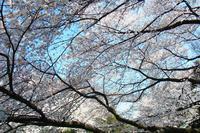 2012.4.7お花見7.jpg